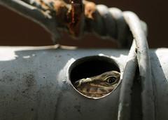 lizard (Roberto Gramignoli) Tags: lizards lizard lucertola animali animals rettili reptiles reptile spiare spy giardino garden