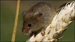 Harvest Mouse (Craig 2112) Tags: harvest mouse mammal rodent macro micromys minutus