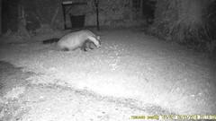 TrailCam 23/9/18 (ohange2008) Tags: trailcam badger cat wilko september essexgarden