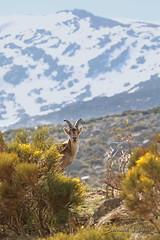 Capra pyrenaica Bouquetin ibérique ou d'Espagne Iberian Wild Goat or Spanish Ibex (֍ Bernard LIÉGEOIS ֍) Tags: espagne españa spain castillayleon castilleetléon castille sierradegredos gredos montagne mountain sierra mammifère mammal caprapyrenaica