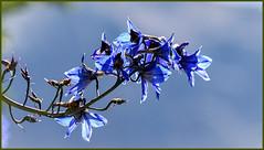Les mots bleus ! (watbled05) Tags: bokeh branche ciel extérieur fleurs hautesalpes jardin macro massifdesecrins plante