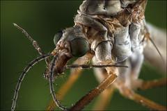 Macro Crane Fly (Darwinsgift) Tags: ultra macro crane fly daddy long legs laowa 25mm f28 255x focus stacking nikon d850