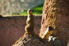 Meerkat (Suricata suricatta) (Seventh Heaven Photography) Tags: meerkat herpestidae animal mammal suricata suricate carnivore mongoose suricatta chester zoo cheshire nikond3200 bokeh rocks