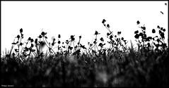 Savigné L'Evêque (Sarthe) (gondardphilippe) Tags: savignélevêque sarthe maine paysdelaloire noiretblanc nature noir nb blanc blackandwhite bw black white campagne extérieur outdoor flower fleurs fleur flowers graphique herbes monochrome macro ombre quiet rural texture ruralité zen
