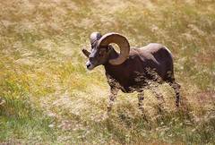 Rocky Mountain Bighorn Sheep (ashockenberry) Tags: rockymountainbighornsheep ashleyhockenberryphotography animal reserve rocky mountains travel tourism habitat herbivore horns nature naturephotography natural northern native mammal majestic park landscape grassland vacation beautiful