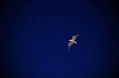 Pointe du Raz (Massimo Frasson) Tags: francia france bretagna bretagne breizh bzh finistère pointeduraz begarraz francianordoccidentale capsizun gabbiano uccello cielo blu volare