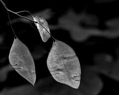 Fragile (louise peters) Tags: fragile fragiel leaves bladeren breekbaar delicate fall herfst autumn monochrome