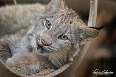 Canada Lynx Cub (ToddLahman) Tags: canada lynx cub sandiegozoo sandiego canon7dmkii canon canon100400 closeup outdoors portrait beautiful mammal eyelock