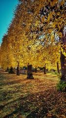 goldene Reihe (kboldi) Tags: bergfried saalfeld tree baum sun sonne fall autum herbst leave laub blätter gold natur nature