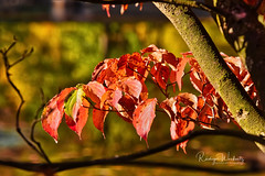 Rotes Laub (r.wacknitz) Tags: herbstlaub rot kurpark seesen fall farbe nikond3400 niedersachsen nature tamron