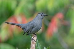 Gray Catbird (Joe Branco) Tags: ontario canada lightroom photoshop wildlifephotography nikond850 nikon branco birds joe joebrancophotography graycatbird green