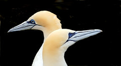 DSC04814 (Argstatter) Tags: wasservögel basstölpel bokeh nahaufnahme natur vögel