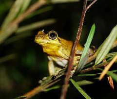 Litoria tyleri (Heidi Prichard) Tags: frog amphibian australianfrogs litoria litoriatyleri