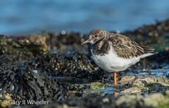 Turnstone (Ponty Birder) Tags: g b wheeler garywheeler birds pontybirder waders wales