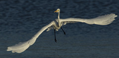 Great Whire Egret - The cartoon version (Ann and Chris) Tags: avian amazing bird egret greatwhiteegret flying gorgeous gliding great incredible impressive incoming looking rutland rutlandwater stunning wildlife wild wings water wildllife waterbird white