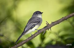 Eastern Phoebe (jt893x) Tags: 150600mm bird d500 flycatcher jt893x nikon nikond500 phoebe sayornisphoebe sigma sigma150600mmf563dgoshsms songbird alittlebeauty coth thesunshinegroup coth5 ngc