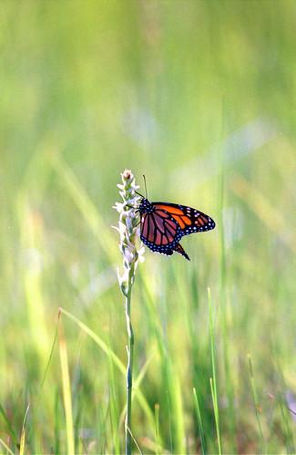Photo - Ute Ladies' Tresses Orchid