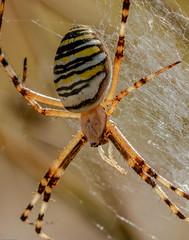 Agiorpe bruennichi (Jef ALTERO) Tags: arachnida animalia araignée araneomorphae agiorpebruennichi arthropoda araneae araneidae chelicerata argiope animal