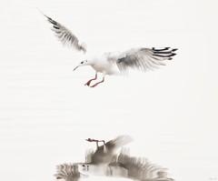 Gull reflection on white! (Nina_Ali) Tags: whitebackground gullinflight gull reflection minimalism gullreflection