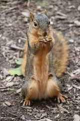 Squirrels in Ann Arbor at the University of Michigan - September 24th, 2018 (cseeman) Tags: gobluesquirrels squirrels annarbor michigan animal campus universityofmichigan umsquirrels09242018 fall autumn eating peanut septemberumsquirrel foxsquirrels easternfoxsquirrels michiganfoxsquirrels universityofmichiganfoxsquirrels