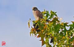 Posé au sommet d'un érable rougissant, un faucon crécerelle à l'affut des petits rongeurs ! (mamnic47 - Over 9 millions views.Thks!) Tags: etangdelongchamp etang oiseaux 6c8a2668 fauconcrécerelle érable