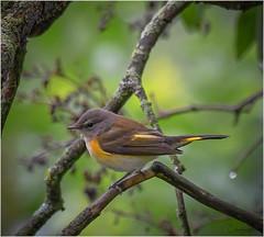 American Redstart (Summerside90) Tags: birds birdwatcher americanredstart september summer backyard garden fall migration nature wildlife ontario canada