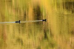 Balade sur l'étang (Croc'odile67) Tags: nikon d3300 sigma contemporary 18200dcoshsmc nature reflexion reflet étang eaux autumn automne canard