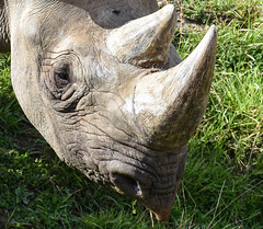 Black Rhino (littlestschnauzer) Tags: black rhino mammal endangered species uk horns horn 2018 ywp yorkshire wildlife park face detail