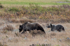 Berry Hunting ((JAndersen)) Tags: glacier glaciernationalpark grizzlybear bear lakesherburne manyglacier montana usa nikon d810 nikkor20005000mmf56 nature wildlife animals