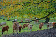 Branching out. (artanglerPD) Tags: trees cattle grazing autumn sunlight