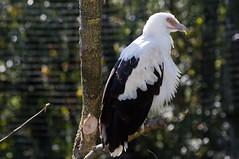 Palmgier - Palm-nut vulture (Den Batter) Tags: nikon d7200 zooparc overloon palmgier gierarend palmnutvulture gypohieraxangolensis