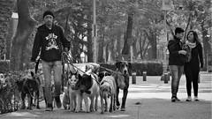 Doggie School Pupils (Parque México) VI (Carl Campbell) Tags: nikond5200 mexicocity cdmx parqueméxico dogs bw noiretblanc blackandwhite