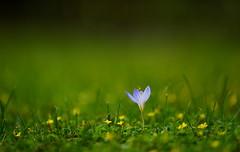flower 1706 (kaifudo) Tags: sapporo hokkaido japan botanicalgarden flower saffroncrocus crocussativus サフラン サフランクロッカス 咱夫藍 秋 札幌 札幌市 北海道 北大植物園 nikon d5 nikkor afs 105mmf14eed 105mm autumn kaifudo