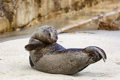 18A_1240 (Mark Ritter) Tags: seal seals macro lajolla california