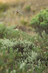 Buffy helmetcrest (Chris Jimenez - Take Me To The Wild) Tags: chupaflores tours birding hummers zumbadores nature chrisjimenez oxypogonguerinii manizales colibries barbuditoparamuno wildlife flight photography colibri colombia greenbeardedhelmetcrest humminbird birds