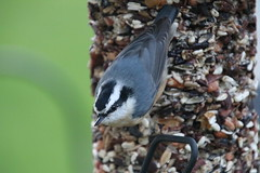 129/365/3781 (October 18, 2018) - Red-breasted Nuthatch (Saline Michigan) - October 18th, 2018 (cseeman) Tags: feeders birds saline michigan nuthatch redbreastednuthatch fall autumn backyard nuthatch10182018 2018project365coreys yearelevenproject365coreys project365 p365cs102018 356project2018