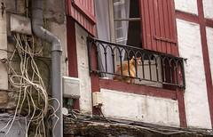 La fibre optique? à Bayonne.... (mrieffly) Tags: fils chat fenêtres cablage volets canoneos50d bayonne paysbasque maisonsàcolombages