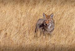 Coyote hunting (scepdoll) Tags: artistspaintpots chipmunk jacksonlake jacksonlakedam montana october wyoming yellowstonenationalpark bison bisonrut buffalo coyote cyanobacteria hotpools snow thermalfeatures