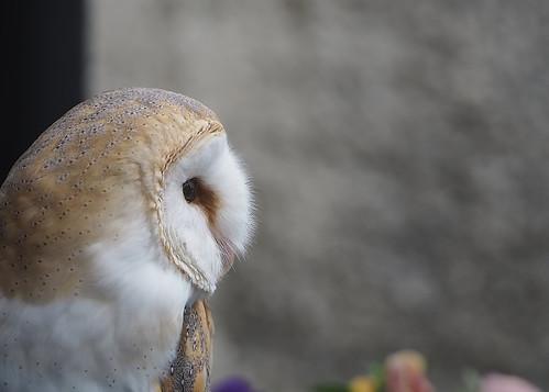 Barn Owl at Skaill House