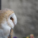 Barn Owl at Skaill House