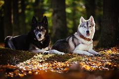 Mara and Pivka (Roos van Gent Photography) Tags: hondenfotografie hond dog dogphotography happy pet siberianhusky husky siberischehusky wolfgrey huskymix reflector