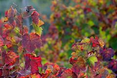 autumn (♥iana♥) Tags: vino uva grape vendemmia autunno autumn fall rosso red vite vigna grapevine montemarano avellino campania italia