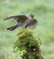 Sparrowhawk, Female (andywilson1963) Tags: sparrowhawk female bird raptor birdofprey wildlife nature woodland scotland british