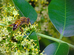 Wax Tree intruder (agredam) Tags: naturaleza nature jardín garden abeja bee japanesewaxtree feeding alimentación polen pollen canoneos30d canonefs1855mmf3556 digital lomasdezamora argentina plants plantas tree árbol