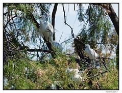 2017-05-15_Aigrettes Garzettes-0027.jpg (Hacheme 26) Tags: héron oiseaux aigrette animaux natureetpaysages saintesmariesdelamer provencealpescôtedazur france fr