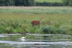 Red Deer (jpotto) Tags: uk lancashire rspb leightonmoss animal deer reddeer littleegret bird