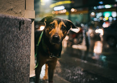 Ulises en la la lluvia. (Adolfo Rozenfeld) Tags: bokeh 7artisans35mmf2 ulises callle streetphotography soledad ulysses dof ciudad loneliness city portrait buenosaires retrato manuallens dog expression lluvia perro rain calle eyes sonnar availablelight luzdisponible noche night