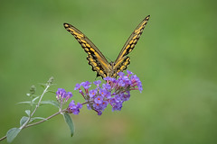 140A4832 (Ricky Floyd) Tags: swallowtail butterfly canon