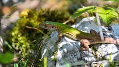 Chilling in the shade (Milos Golubovic) Tags: green nikon d7100 sigma 1770mm zelembac nis serbia srbija