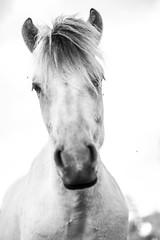 Fjording (doffer80) Tags: pose horse blackandwhite white focus fjording norwegian